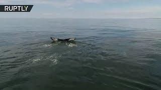На Камчатке обнаружили редкое скопление горбатых китов