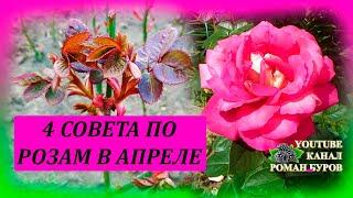 ЧЕТЫРЕ совета по уходу за РОЗАМИ в апреле. Уход за розами ранней весной. Выращивание роз.
