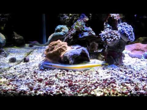 Gunnelichthys curiosus - Curious Wormfish