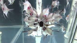 Angelfish Strains, Black Lace, Blue Paraiba, Albino Pearlscale Angel Fish Canada