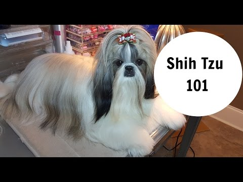 Shih Tzu 101