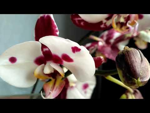 Жара! Хорошее средство от обезвоживания листьев орхидей.