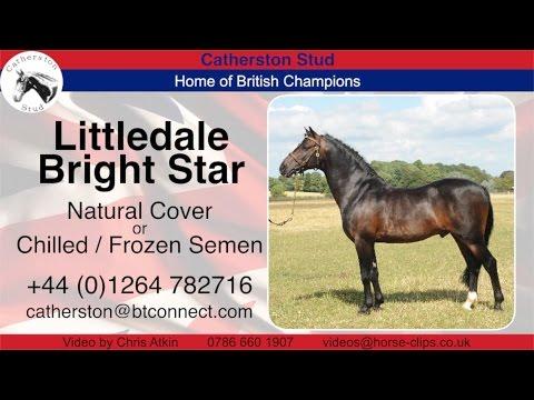 Pony Stallion: Littledale Bright Star At Catherston Stud