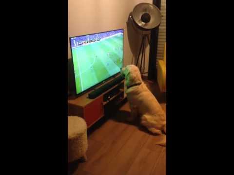 Golden Retriever Dog loves watching football CUTE