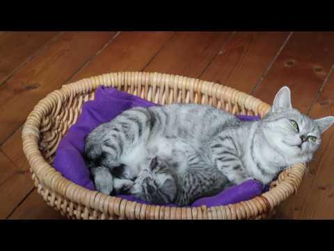 Kittens - British cat Whiskas - Kitten with mother - long video