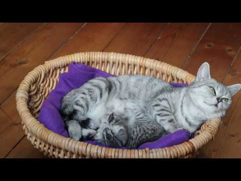 Kittens - British cat Whiskas - Kitten with mother - long video