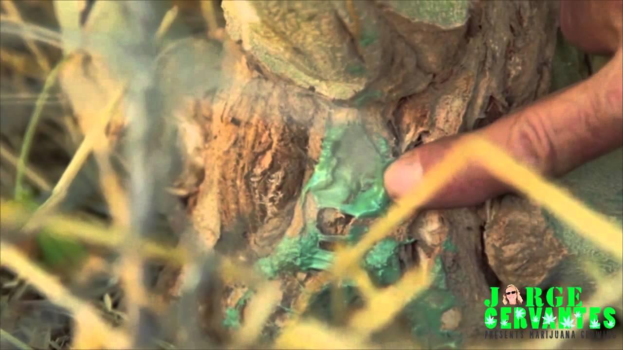 Ten Pound Marijuana Plants Have Huge Monster Stems - The