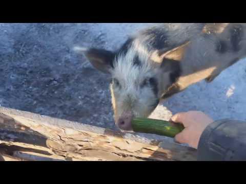 ��Что свиньи не едят или сам как свинья��)))