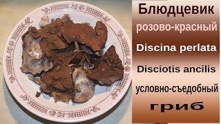видео Дисцина щитовидная, Discina perlata