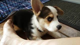 CORGI PUPPIES' FIRST DAY AT HOME | Hiro the Corgi