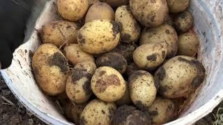 Картошка:🥔 подготовка // выкопали сорт на развод. Сельская жизнь