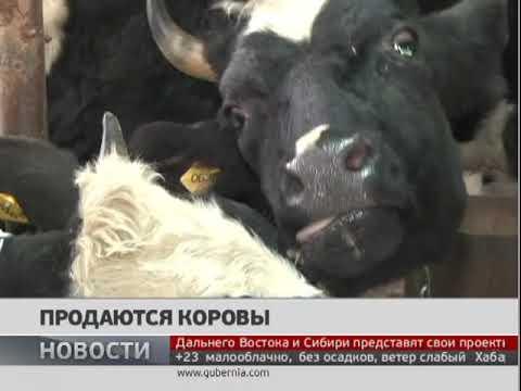 Продаются коровы. Новости 21/09/2017. GuberniaTV