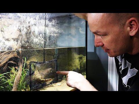 GIANT PUFFER FISH GETS HIS NEW AQUARIUM! - The King Of DIY