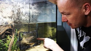 giant-puffer-fish-gets-his-new-aquarium-the-king-of-diy