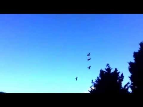 Yellow-tailed Black Cockatoos flying overhead!
