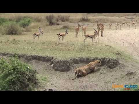 Deer Lucky Escape from Lion – Best Video of All Time