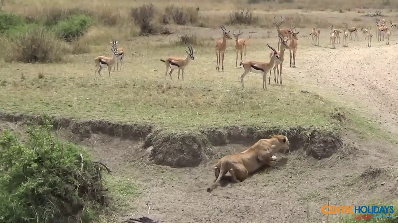 Download Deer Lucky Escape from Lion - Best Video of All Time