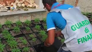 Sequestrate 850 piante di marijuana ai piedi del Castello: valeva 4 milioni di euro