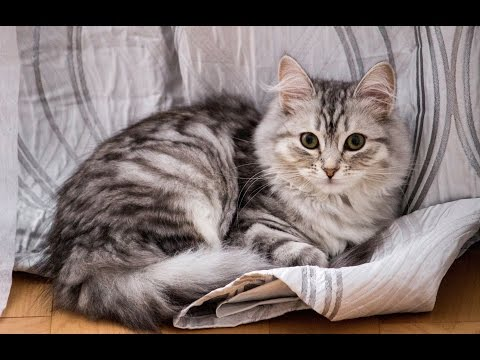 Cutest cat on Earth - Siberian Silver Cat