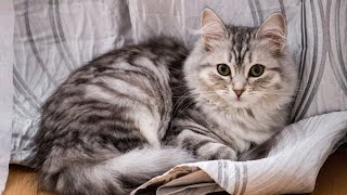Cutest cat on Earth  Siberian Silver Cat