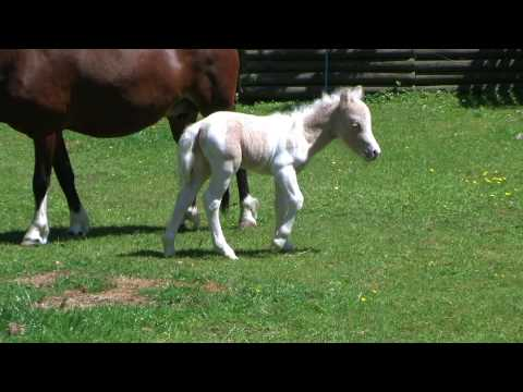 AMHA Baby miniature horse Puzzle me