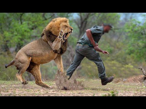 Lion attack a poacher
