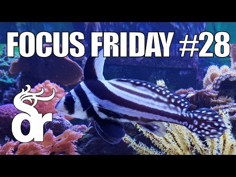 FF#28 | Keeping A Spotted Drum In Your Reef Tank