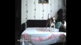 Смешной пес на диване. Просто умора! Что бывает когда собаку оставляют дома одну.(Хозяйка запрещает собаке лазить по дивану. И поставила камеру, чтобы узнать, что делает собака одна дома...., 2014-07-19T14:17:21.000Z)