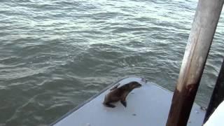 США 1502: У морских львов по весне рождаются маленькие детки