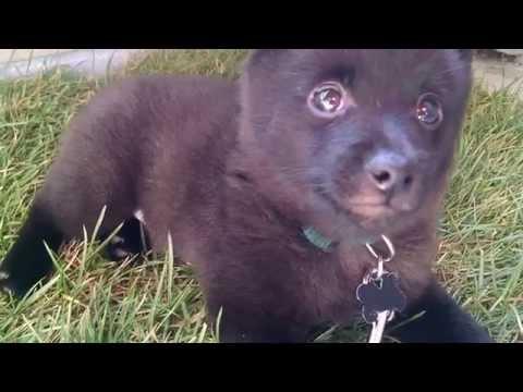 Mr. Bear is a Sleepy Schipperke Puppy!