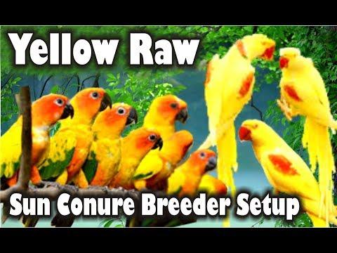 Yellow Raw | Ringneck aur Sun Conure Breeder Setup Urdu/Hindi