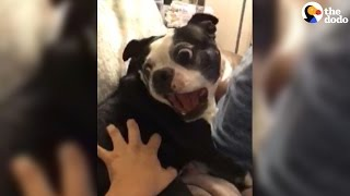 Dog Screams When His Mom Touches Him