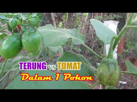 Rekayasa Tanaman UNIK Tanaman Tomat Dan Terong Dalam Satu Pohon Ini Hasilnya