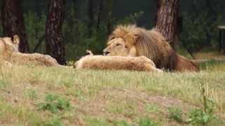 Brullende Leeuw in Safaripark Beekse Bergen