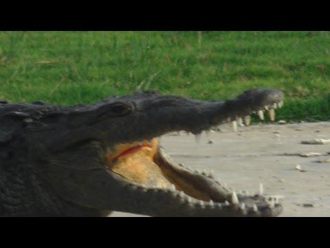 Crocodiles Tour on the Black River Jamaica