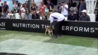 Small Dog Agility 1st Place - Incredible Dog Challenge 2015 Huntington Beach, Ca