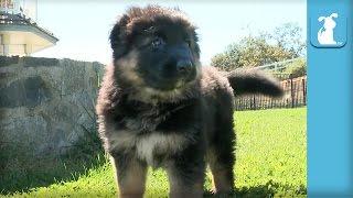 Fluffy German Shepherd Puppies Run Around Like Little Bears - Puppy Love