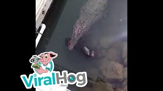 Funny Video: Huge Crocodile Swims Calmly With Dead Dog In Mouth