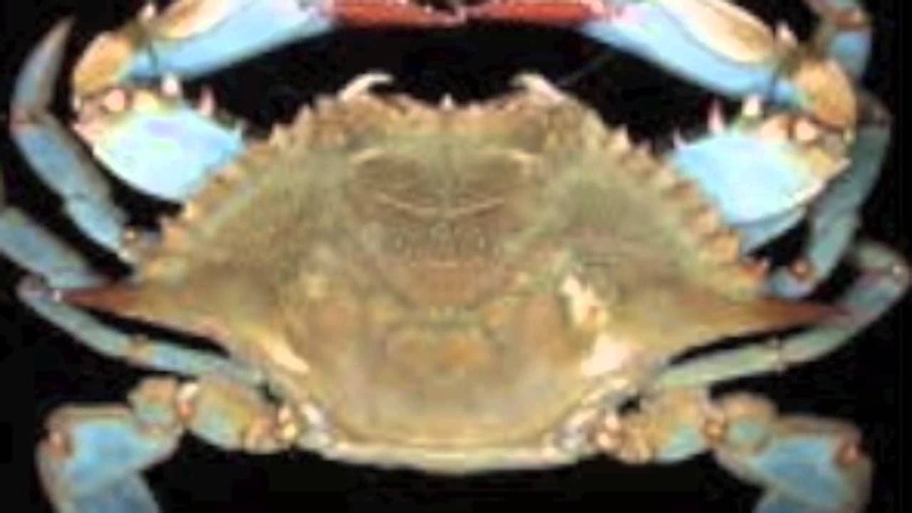 blue crab pictures youtube