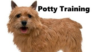 How To Potty Train A Norwich Terrier Puppy - Norwich Terrier Training - Norwich Terrier Puppies