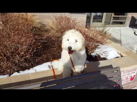 Amazing 6-Month-Old labradoodle transformation, Beckham! Best Dog Trainers in Colorado!