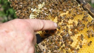 HOW TO: Capture Swarming Bees