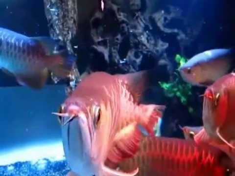 Cá Rồng Huyết Long Nuôi Chung Không Đánh Nhau