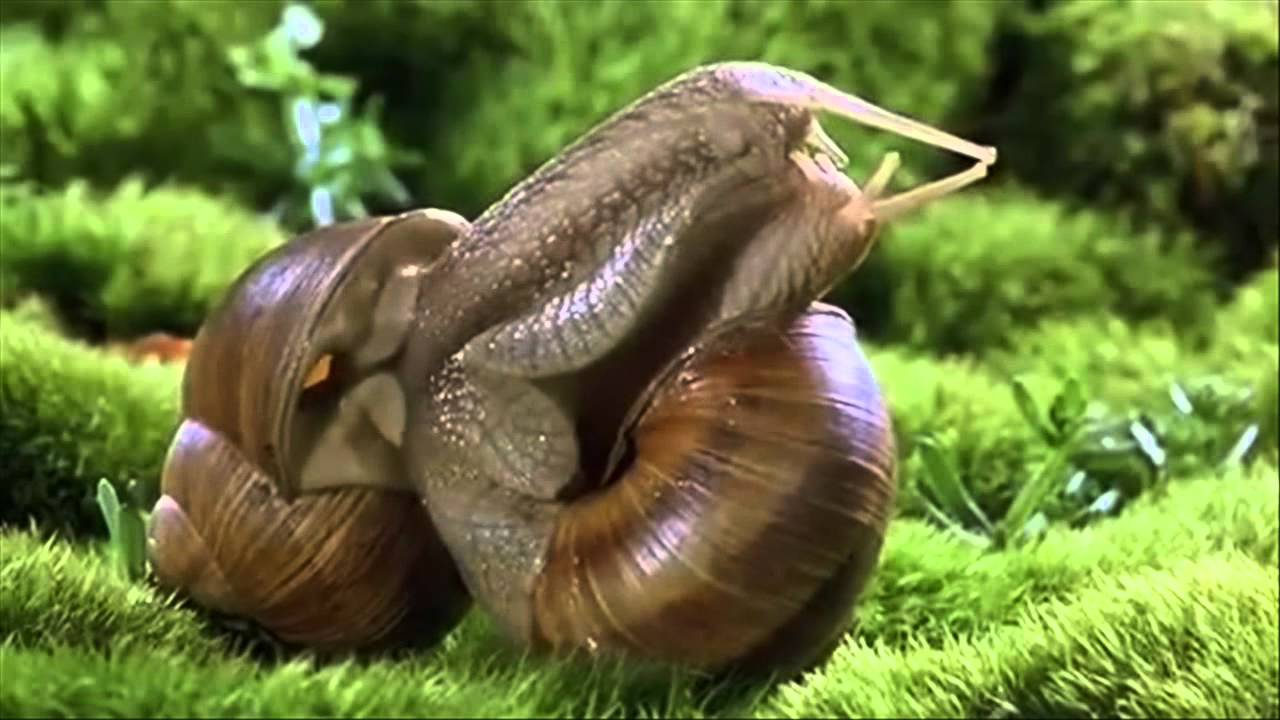 How to tell the sex of a snail