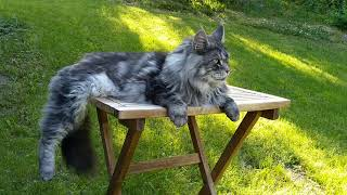 This Is Agaton, Maine Coon Cat.