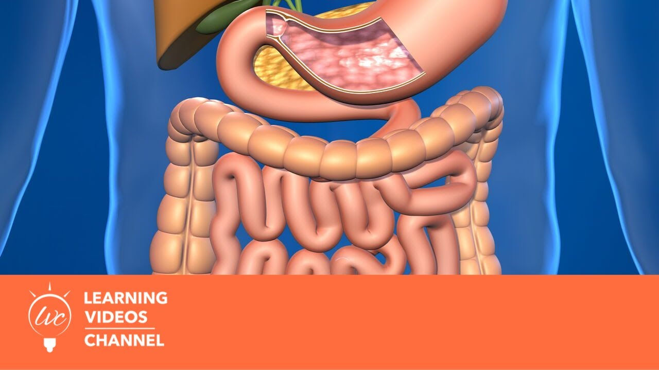 Digestive System - Real World Science on the Learning ...