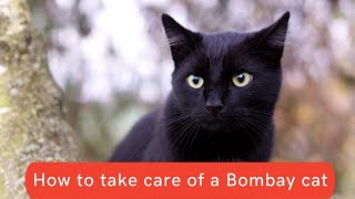 How to take care of a Bombay cat Updated 2021 || Bombay cat care