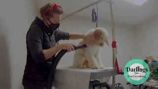 Spoodle  Tully's Dog Grooming TransFurMation