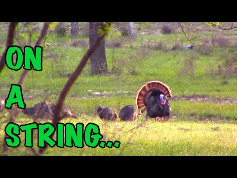 This ol' Texas tom came in like he was on a string!!