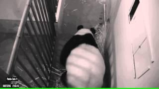 Giant Panda Cub is a Boy!